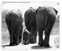 Elephants bums, Acrylic Print