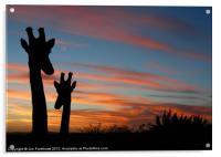 Giraffes and sunset, Acrylic Print