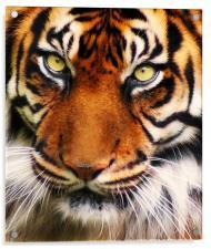Tiger, Acrylic Print