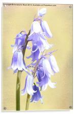 Bluebells on Cream, Acrylic Print