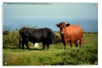 Bullock and Cow., Acrylic Print