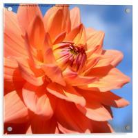 Summer Dahlia, Acrylic Print