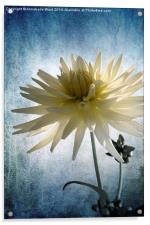 Dazed Dahlia., Acrylic Print