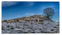 Highland cattle under lone tree in the snow, Acrylic Print