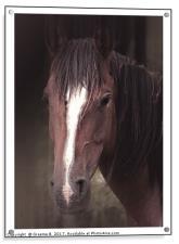 Quantock Pony Portrait, Acrylic Print