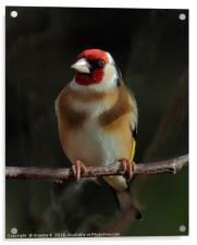 Goldfinch In The Shadows, Acrylic Print