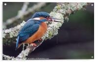 Got One (Kingfisher), Acrylic Print