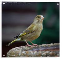 Female Greenfinch, Acrylic Print
