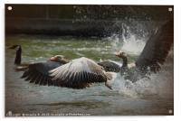White Fronted Geese, Acrylic Print