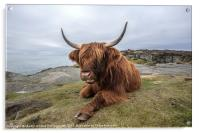 Highland Cow Chilling Out, Acrylic Print