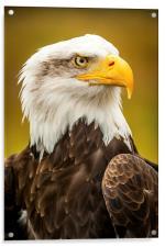 Bald Eagle, Acrylic Print