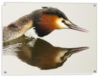 Great Crested Grebe, Acrylic Print