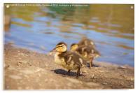 Cute Little Duckling, Acrylic Print