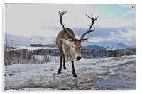 Highland Stag keeping watch over land, Acrylic Print