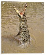 Queensland Wild Crocodile., Acrylic Print