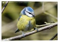 Blue tit with eyes closed, Acrylic Print