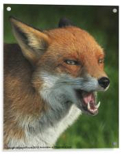 Laughing Fox, Acrylic Print