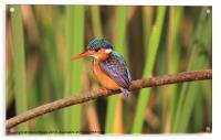 Malichite Kingfisher, Acrylic Print