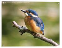 Young Kingfisher, Acrylic Print