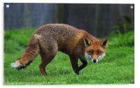 Cunning Fox, Acrylic Print