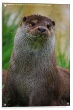 Otter ( Lutra Lutra, Acrylic Print
