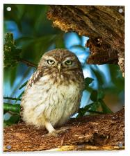 Little Owl at nest., Acrylic Print