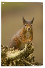 Red Squirrel on rustic log., Acrylic Print
