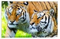 Two Tigers, Acrylic Print