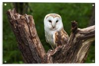 Barn owl perched in the fork of an old tree trunk, Acrylic Print