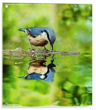 Nuthatch reflections, Acrylic Print