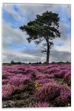 Alone In The Heather, Acrylic Print