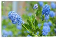 Blue Blossom of Ceanothus Concha Branch Close Up, Acrylic Print