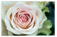 Morning Glory. Series From Rose Garden, Acrylic Print