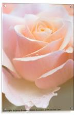 Tenderness. Series  From Rose Garden, Acrylic Print