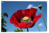 Poppy, Acrylic Print