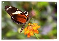 Butterfly on a flower, Acrylic Print