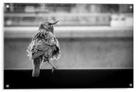 Scruffy Starling, Acrylic Print