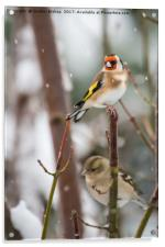 Goldfinch on a snow day, Acrylic Print