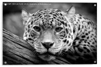 Jaguar Stare Black & White, Acrylic Print