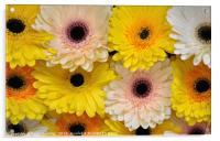 Colourful gerbera daisies , Acrylic Print