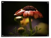Chrysanthemum In Lerwick Flower Park, Acrylic Print