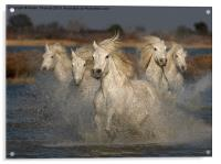 Camargue Horses running in water