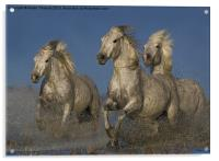 Galloping Camargue Horses, Acrylic Print