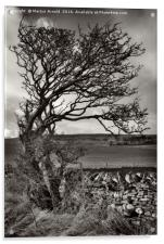 Windswept Winter Tree, Acrylic Print
