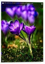Spring Crocus, Acrylic Print