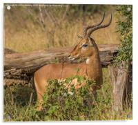 Male Impala in Kruger National Park, Acrylic Print