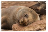 Fur Seal Basking at Cape Cross, Namibia, Acrylic Print