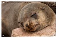 Fur Seal Basking at Cape Cross, Acrylic Print