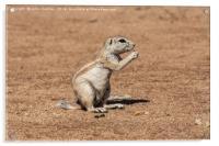 Namibian Ground Squirrel, Acrylic Print