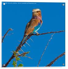South African Lilac Breasted Roller, Acrylic Print